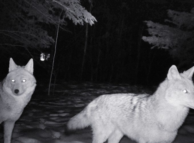 Scaring Coyotes... in the Name of Science