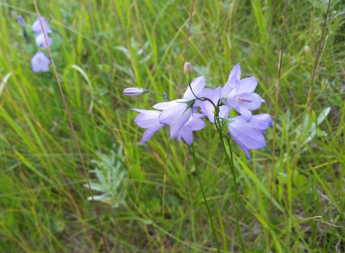 Explore Native Wildflowers at Muttart Grounds