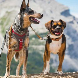 AE-Mountains-Dogs1-1