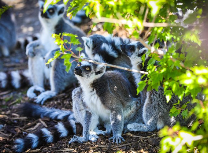 A Peek Inside the New Land of Lemurs Exhibit at the Calgary Zoo