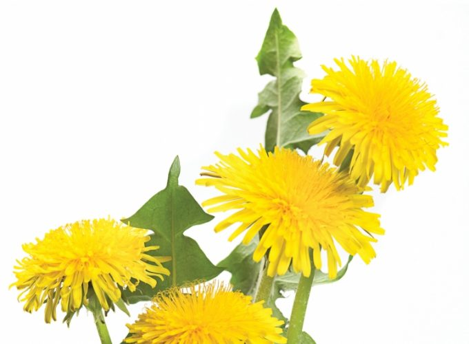 Ingredient: Dandelions
