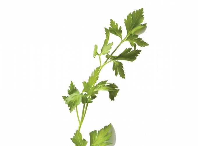 Ingredient: Cilantro