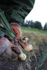 Harvest_Onions1