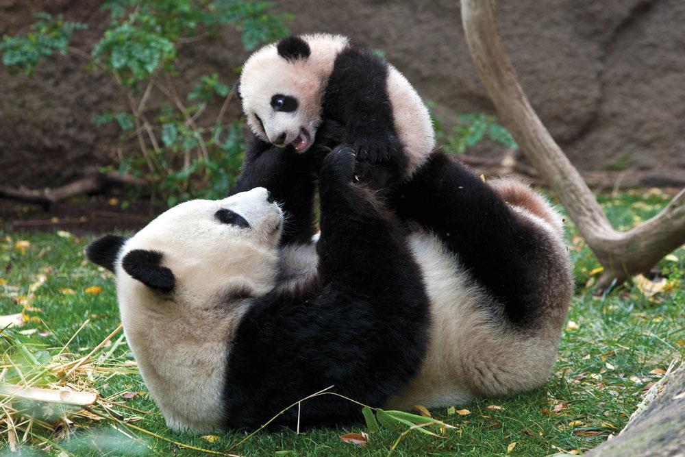 SanDiego-pandas.jpg