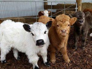 calves-farm-animals