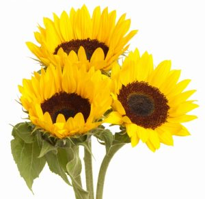 for-web_sunflower_-2f35de00