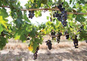 wine-grapes-1.jpg
